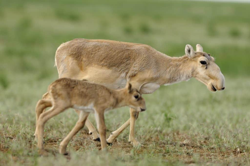 Wegen dem Klimawandel ist die Saiga Antilope zunehmend vom Aussterben bedroht.
