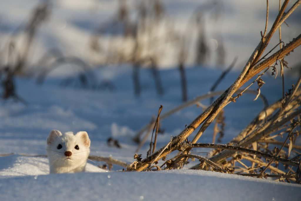 Ein Hermelin, Tier des Jahres 2018, sucht Deckung im Schnee.