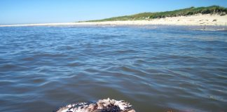 Müll im Gewässer tötet Tiere, wie hier diese junge Möve.