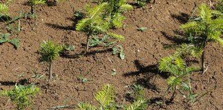 Junge Tannen (Abies alba) aus mehreren Populationen im Pflanzgarten bei Matzendorf.