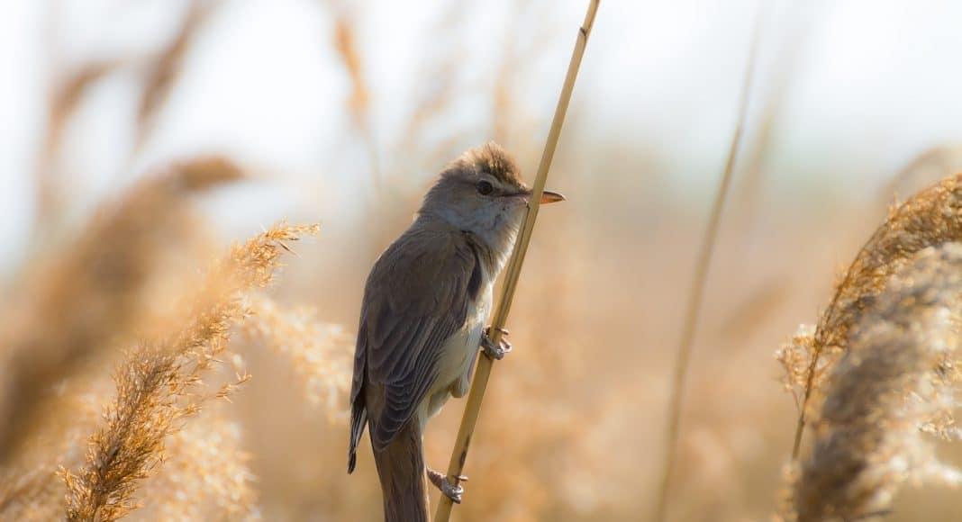 Der Zugvogel Drosselrohrsänger sitzt auf einem Schilfhalm.