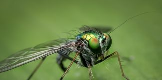 Auch weit verbreitete Insekten, wie diese Fliege, leiden unter dem Insektensterben.
