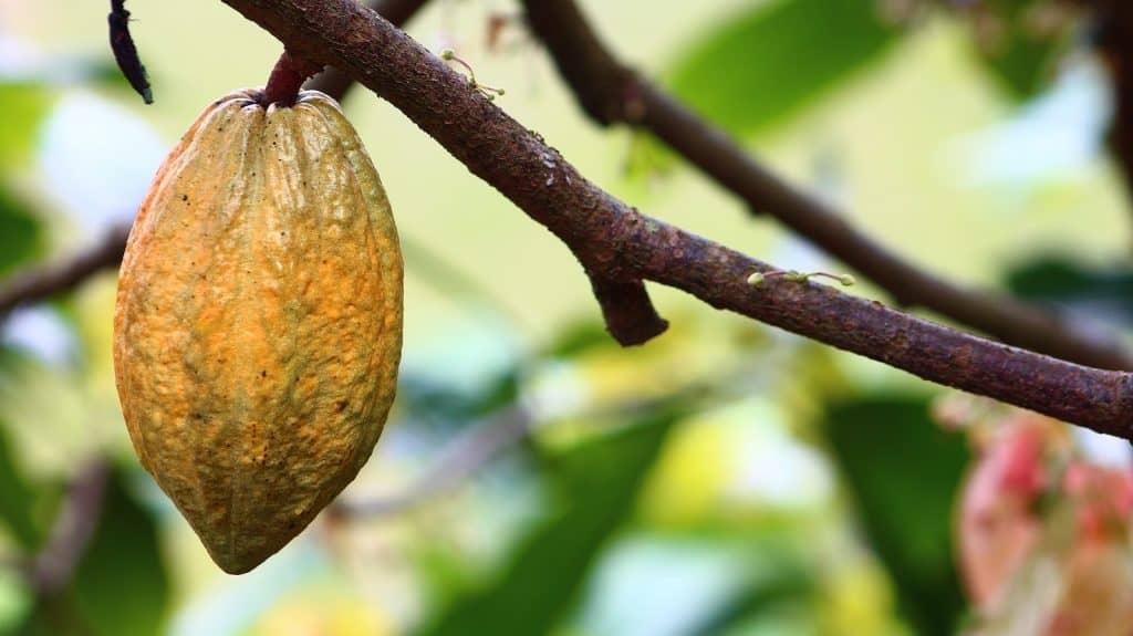 Fruch des Kakaobaums