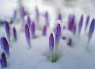 Der Frühblüher Krokus schaut aus dem Schnee heraus.