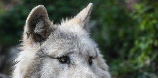 Ein Wolf wurde bei der Jagd aus Versehen abgeschossen.