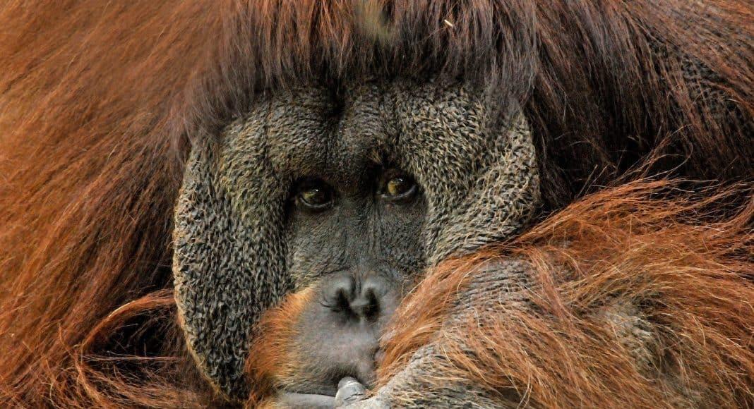 Nahaufnahme eines Orang-Utan Gesichts.