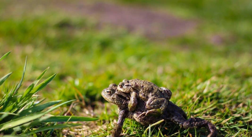 Achtung auf Amphibien auf der Amphibienwanderung.