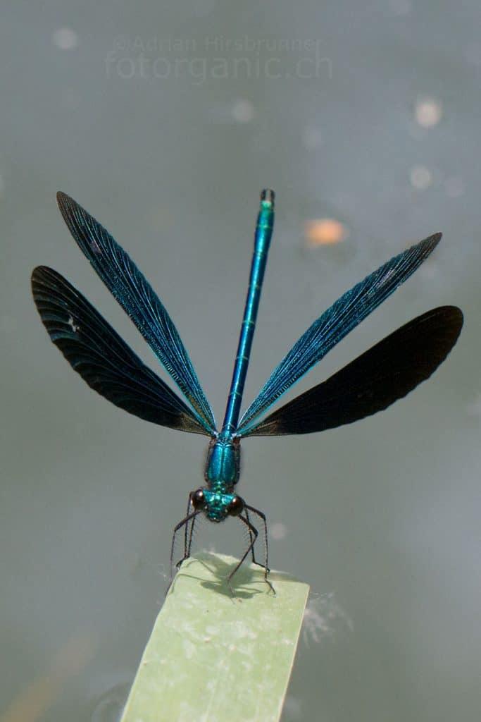 Blauflügel-Prachtlibelle.