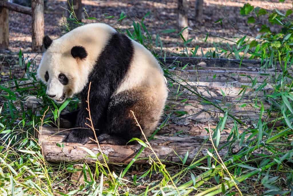Grosser Panda sitzt am Boden und frisst Bambus.