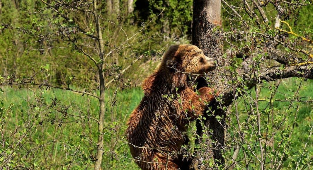 Junger Bär ist am klettern.