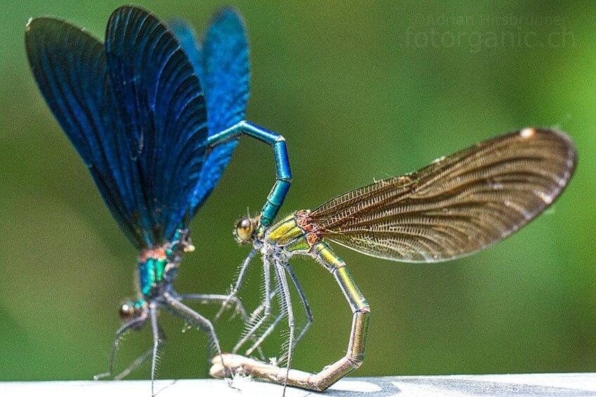 Nackengriff bei den Libellen.