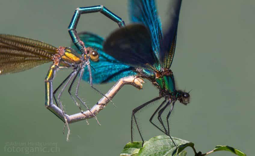 Paarungsraf der Libellen.