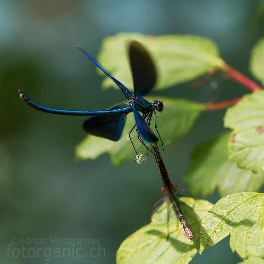 Eine Blauflügel-Prachtlibelle im Schwirrflug.