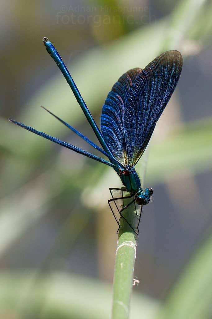 Eine Blauflügel-Prachtlibelle.