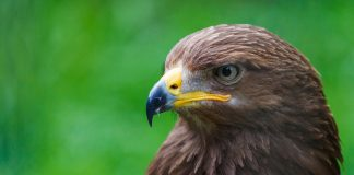 Den Vogelzug des Schreiadlers via Monitoring verfolgen.