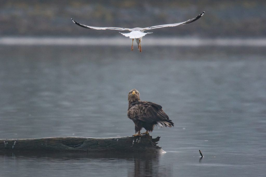 Der in der Schweiz sehr selten anzutreffende Seeadler am Klingnauer Stausee.