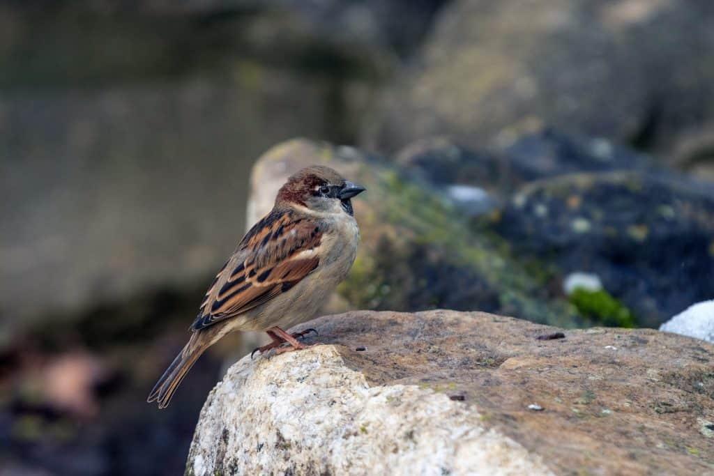 Ein Spatz oder Sperrling sitzt auf einem Stein.