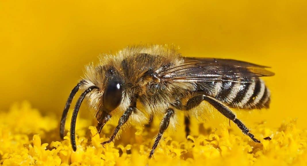 Intensive Landwirtschaft schadet den Wildbienen.