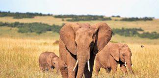 Drei Elefanten laufen über die afrikanische Savanne.
