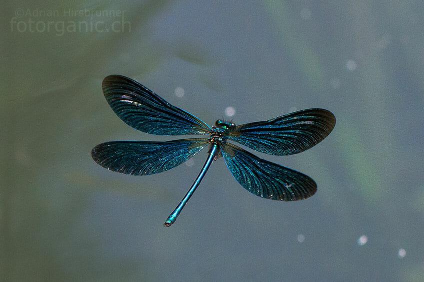 Blauflügel-Prachtlibelle im Drohnenflug.