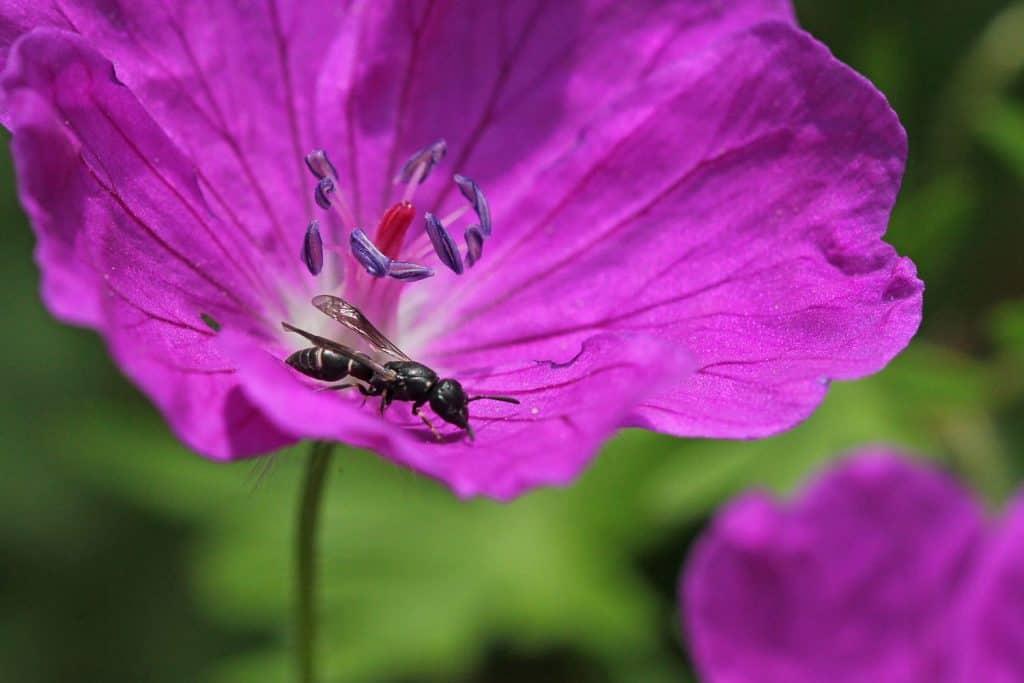 Faltenwespe auf der Blüte eines Blutstorchenschnabels.