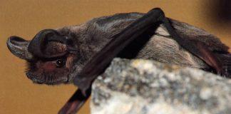 Windkraftanlagen können Fledermäuse verletzten oder töten.