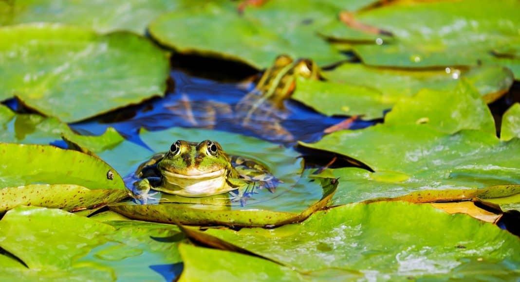 Pestizide werden im Garten und in der Landwirtschaft häufig angewendet und haben Auswirkungen auf Wildtiere, hier ein Frosch.