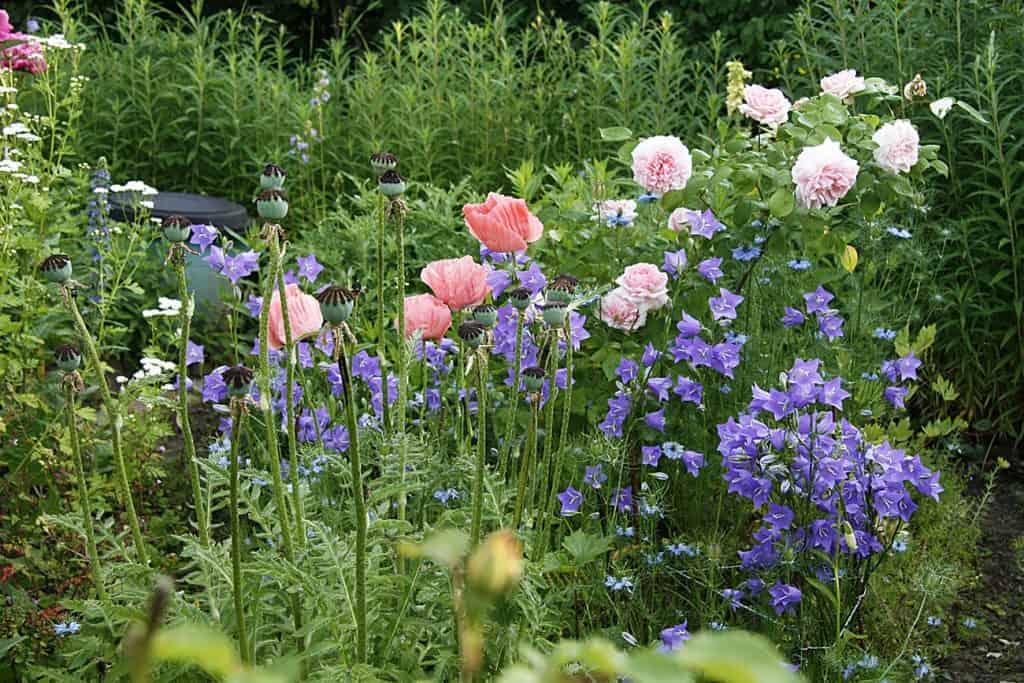 pfirsichblättrige Glockenblume hat leicht rosa Blüten.