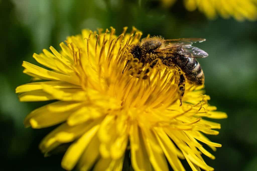 Ein Löwenzahn mit einer Biene darauf.