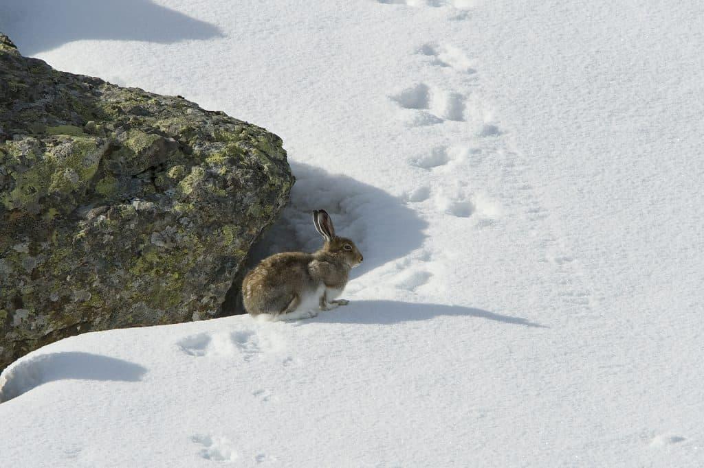 """Schneehase wegen Klimawandel immer häufiger im braunen """"falschen"""" Fell unterwegs"""
