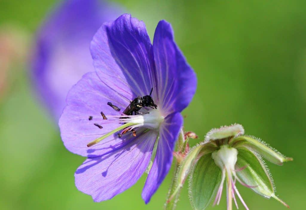 Maskenbiene auf der Blüte eines Storchenschnabels.