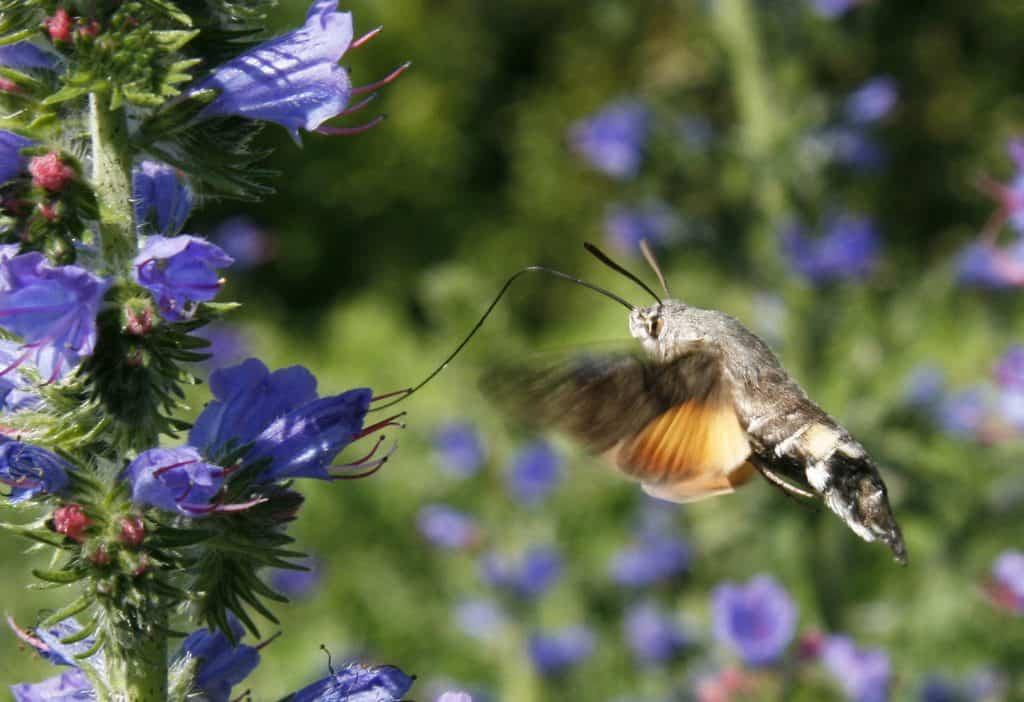 Taubenschwänzchen saugt an den Blüten eines Natternkopfs.