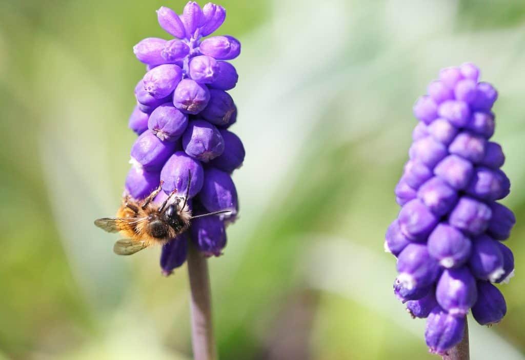 Biene auf einer Traubenhyazinthe.