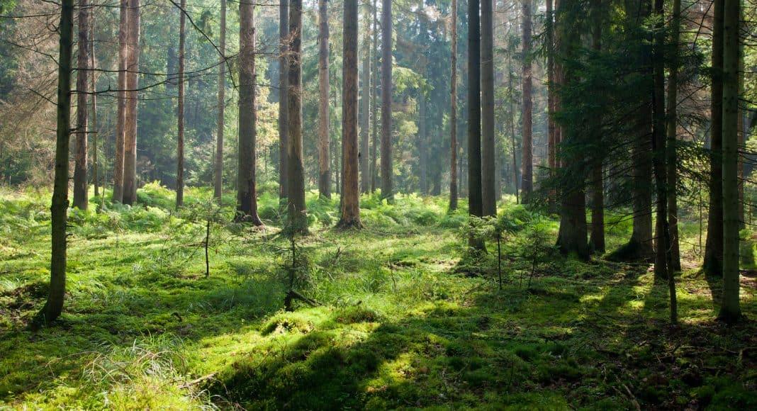 Nadelwald mit Moosbewachsenem Boden