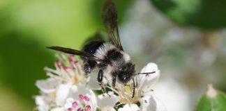 Wildbienen sind stark bedroht und brauche Schutz.