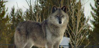 Wolf wurde von seinem Leiden erlöst.