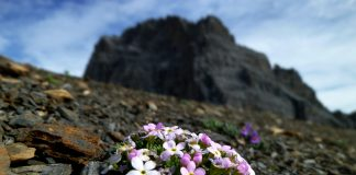 Gewöhnliche Arten wie das Alpenmannsschild (Androsace alpina) kommen wegen dem Klimawandel nun häufiger in den Alpen vor.