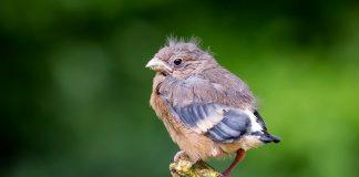 Dieser junge Vogel, ein Gimpel, braucht keine Hilfe.