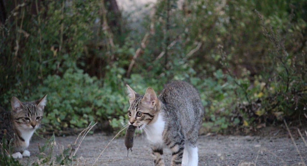 Katze hat eine Maus gefangen. Schicken Sie den Fang nun ein und helfen Sie der Wissenschaft.