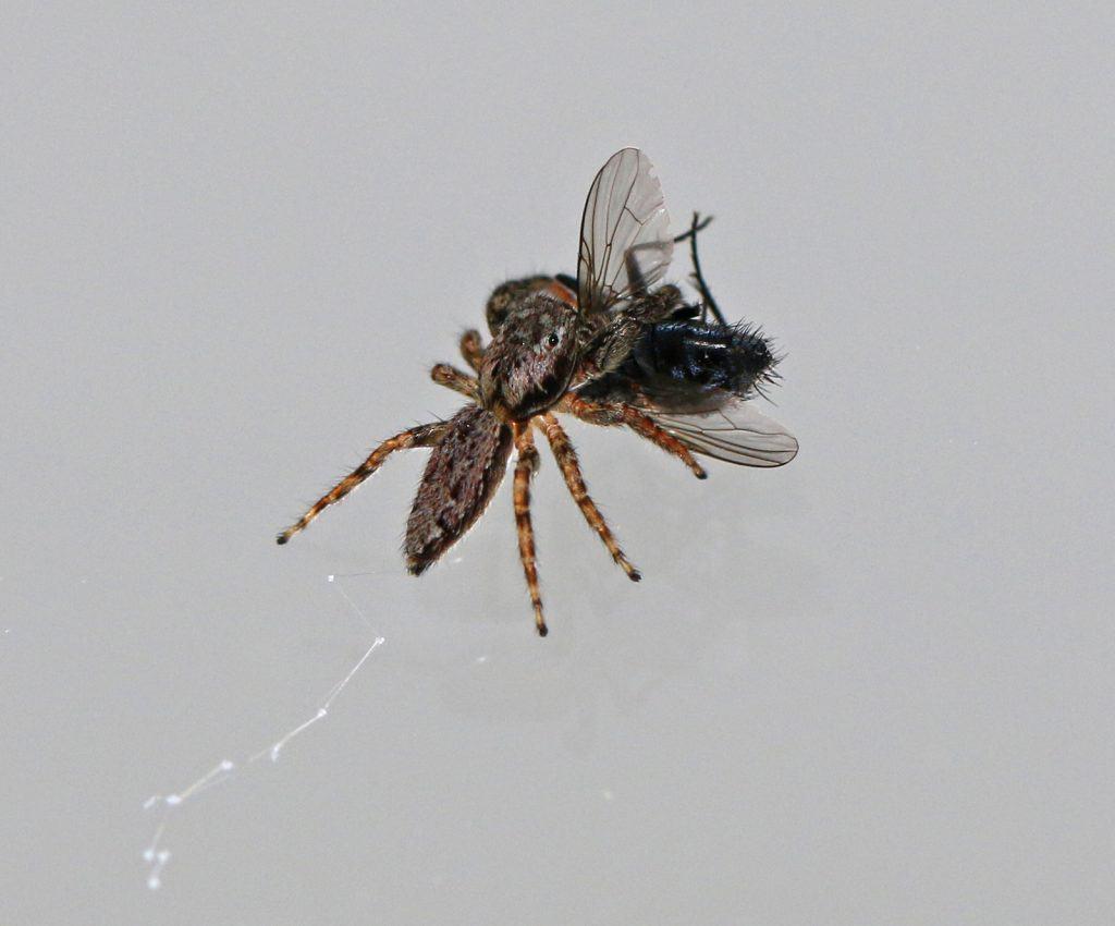 Springspinne frisst Fliege.