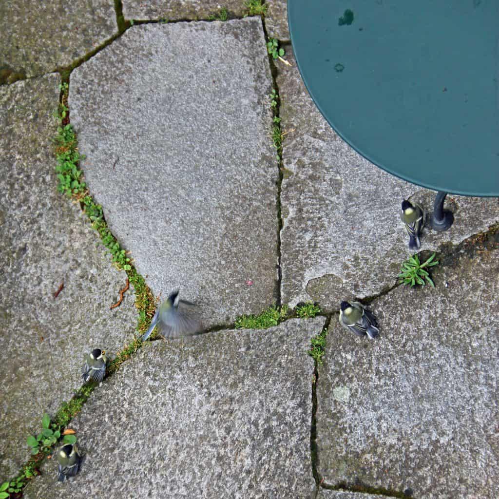 Die Kohlmeisenfamilie, mit vier Jungvögeln, sind am Boden.