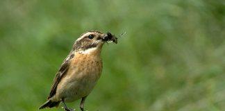Braunkehlchen mit einer Fliege im Schnabel sitzt auf Ast.
