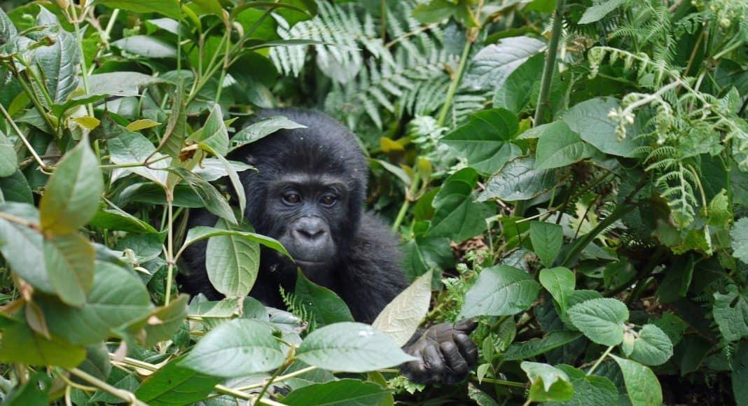 Ein junger Berggorilla schaut aus Pflanzenblättern heraus.
