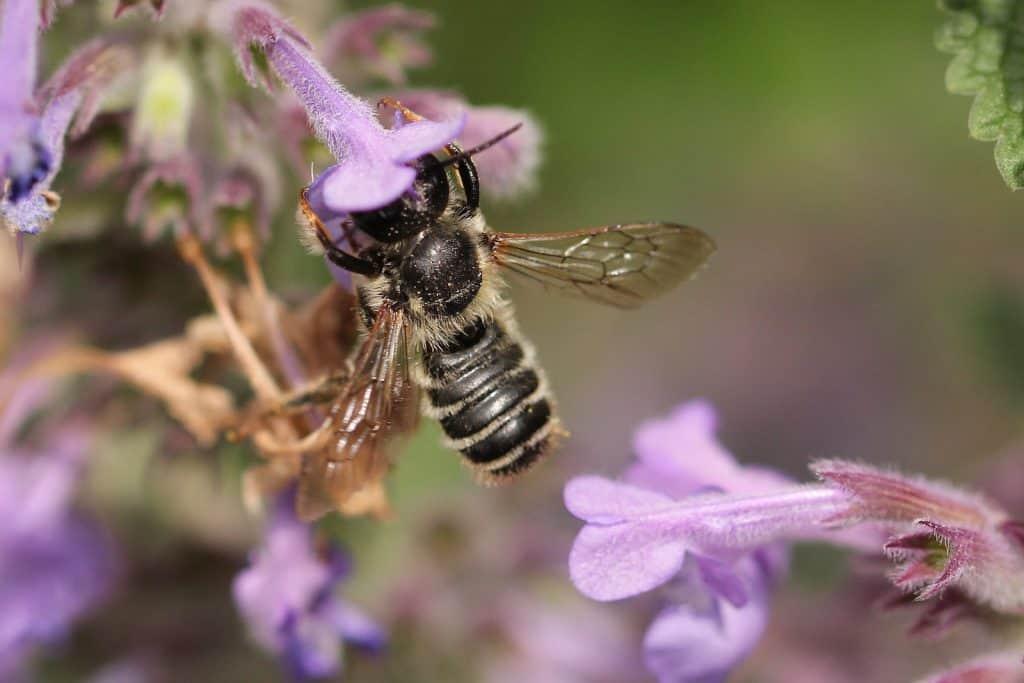 Eine Blattschneiderbiene verschwindet fast kopfüber in der Kazenminzenblüte.