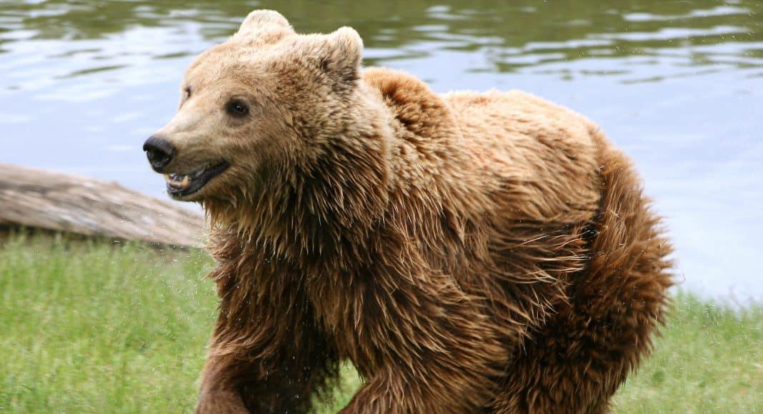 Der Bär gehört zu den Schweizerischen WIldtieren.