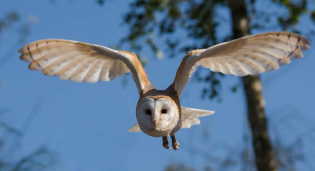 Eine Eule im Flug. Von Solchen Eulenflügeln ist die Neue Technologie für den Lärmschschutz bei der Windkraft abgeschaut.