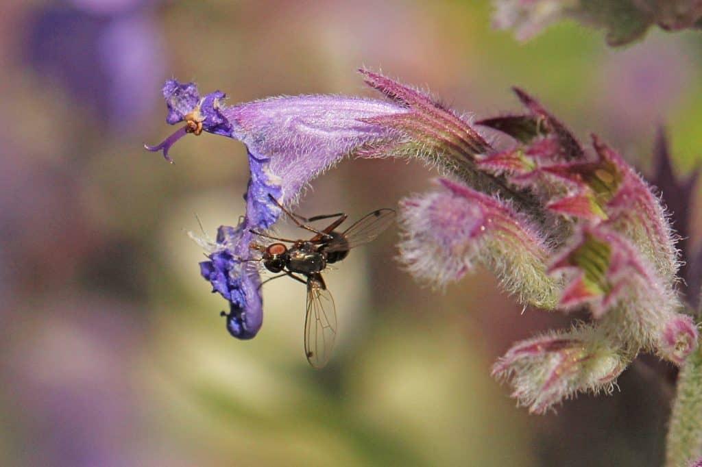 Fliege sitzt auf Katzenminzenblüte.