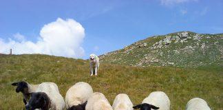 Ein Herdenschutzhund bewacht auf einer Alp die Schafe.