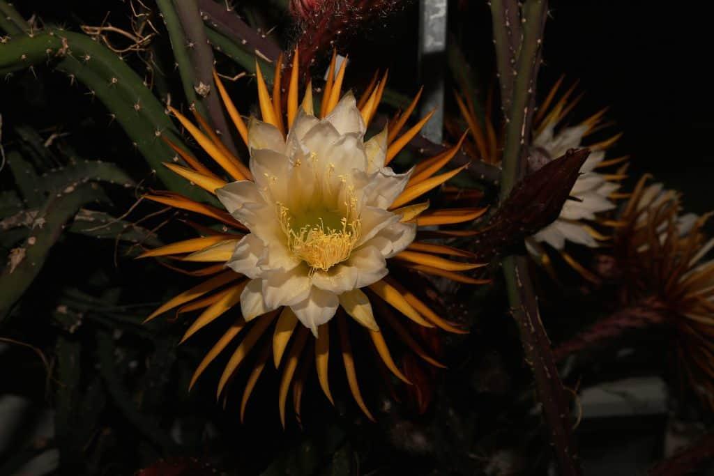 In der Kaktus/Sukkulenten-Sammlung sehen sie die blühende Königin der Nacht.