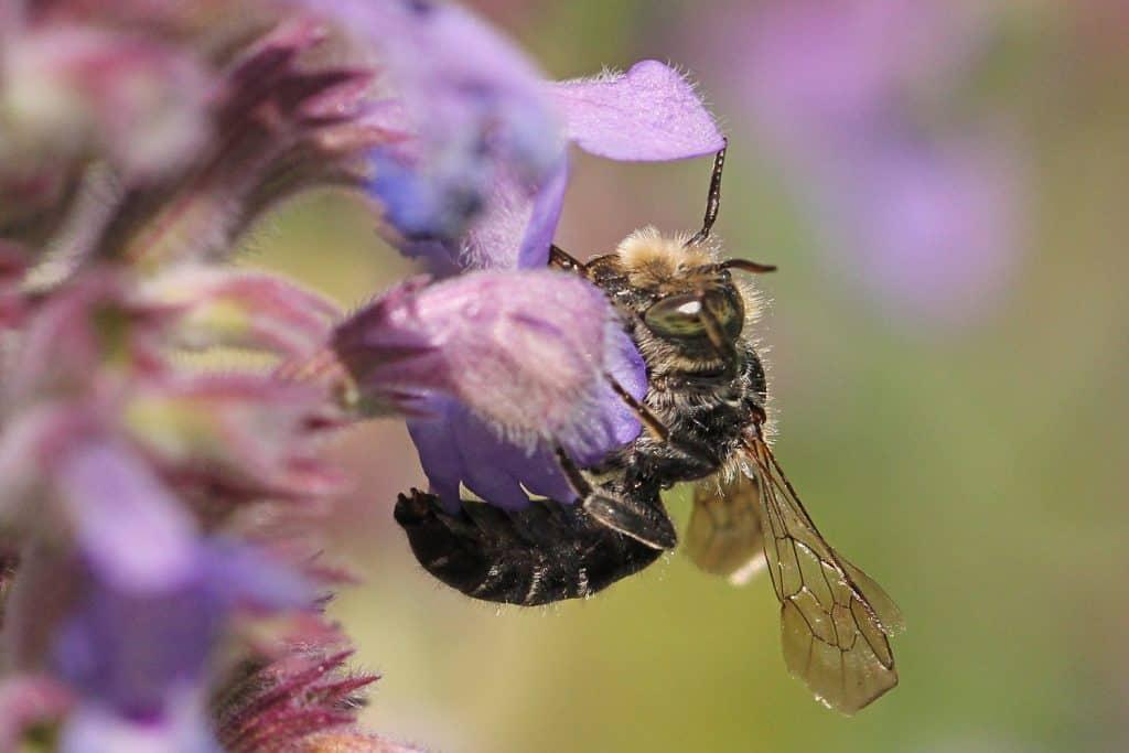 Eine Natternkopf-Mauerbiene sitzt auf der Blüte.